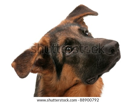 German Shepherd puppy, 5 months old on white background - stock photo