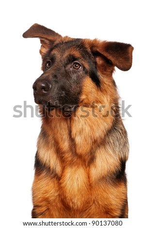 German Shepherd puppy, 5 months old on white background