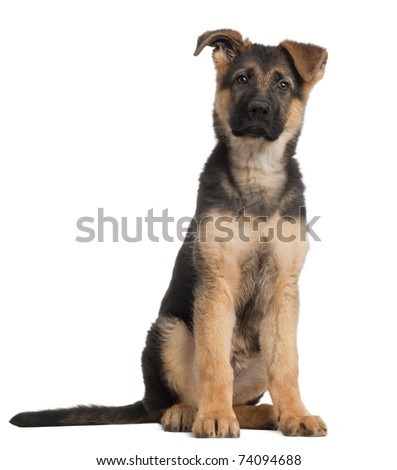 German Shepherd puppy, 3 months old, sitting in front of white background - stock photo