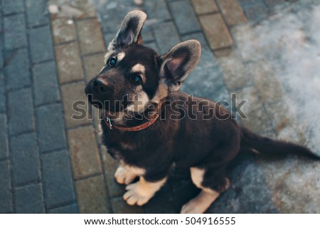 German Shepherd puppy playing in the street