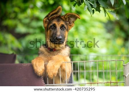 German shepherd puppy posing behind bars - stock photo