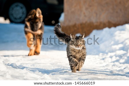 German shepherd puppy running behind tabby cat - stock photo
