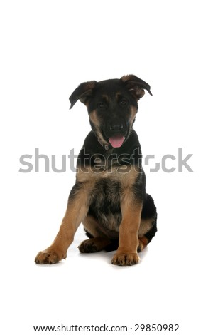 German Shepherd puppy sitting on white background with tongue out - stock photo