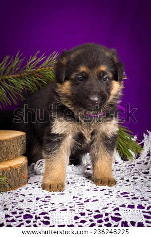 German Shepherd puppy sitting with fir branches on a purple background