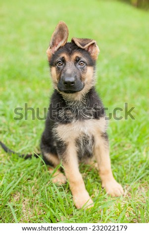 German Shepherd puppy with floppy ears sits in the grass - stock photo