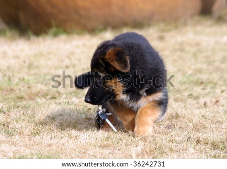 German shepherd puppy with keys - stock photo