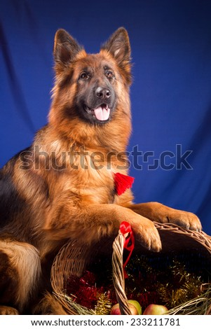 German shepherd put his paws on a wicker basket. Blue background - stock photo