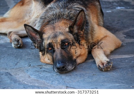 German Shepherd resting after a long walk