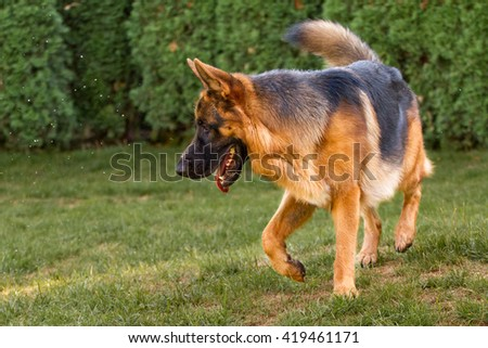 German shepherd running around the garden