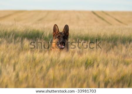 German shepherd running in the wheat - stock photo