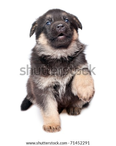 German shepherd`s dog puppy isolated on white background