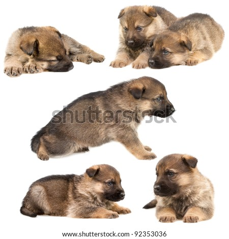 German shepherd`s puppys - stock photo