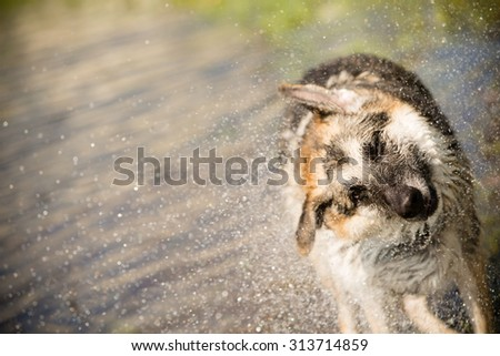 German Shepherd Shaking Off Water - This is an image of a German Shepherd shaking off water after playing in a lake on a hot summer day. - stock photo