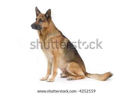 German Shepherd sitting down and looking sidewards - stock photo