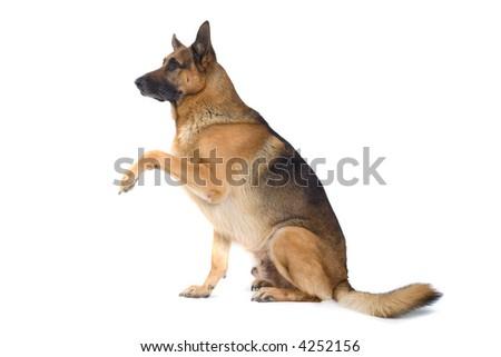 German Shepherd sitting down sidewards - stock photo