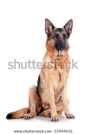 German Shepherd sitting in front, isolated on white background, studio shot. - stock photo
