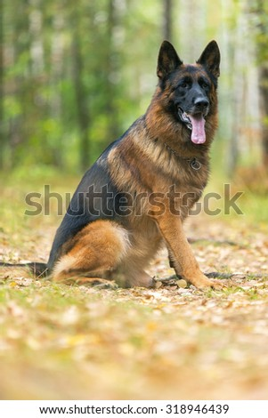 German shepherd sitting in the forest. - stock photo