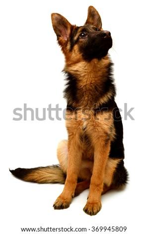 German Shepherd sitting isolated on white background - stock photo