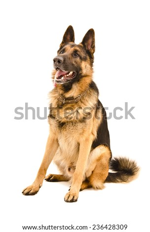 German Shepherd sitting looking up isolated on white background - stock photo