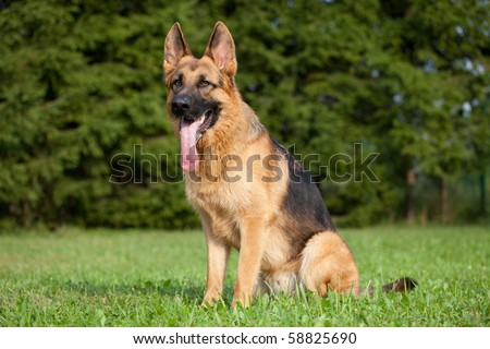 German Shepherd sitting on the green grass - stock photo