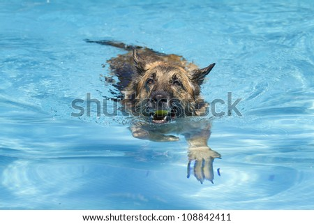German shepherd swimming in a pool and holding a ball in her mouth - stock photo
