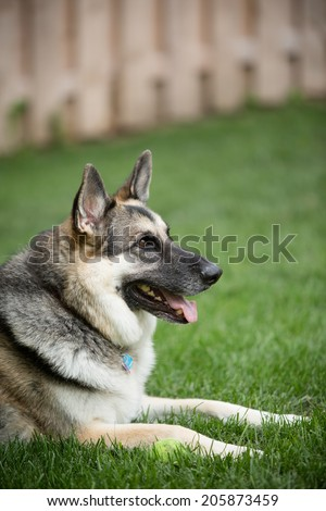 German Shepherd - This is a shot of a German Shepherd Dog laying in the grass.
