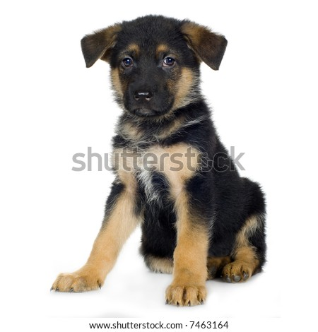 german shepherd (7 weeks) in front of a white background