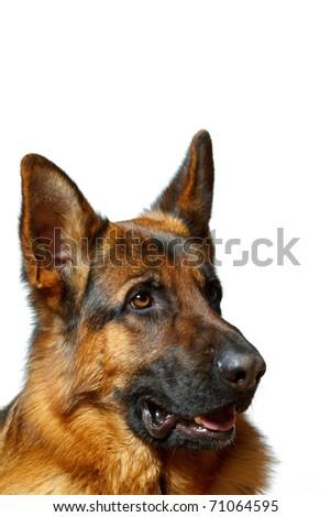 German Shepherd - white background - stock photo
