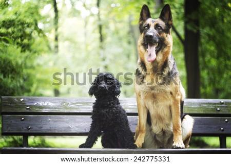 german shepherd with poodle dog - stock photo