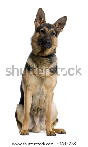 German Shepherd, 1 year old, sitting in front of white background, studio shot