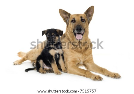 german shepherd (9 years and 7 weeks) in front of a white background
