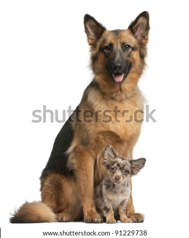 shepherd-years-old-and-chihuahua-months-old-sitting-in-front-of-white