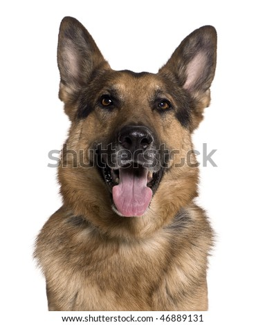 German shepherd, 5 years old, in front of white background - stock photo