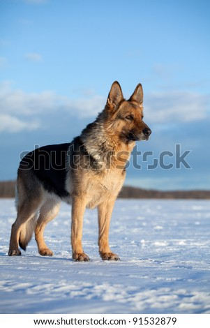 German shepherds - stock photo