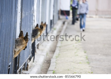 German shepherds in kennel - stock photo