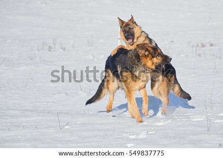 German Shepherds in the snow