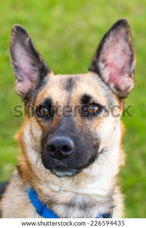 German Sheppard playing outside in the grass portrait