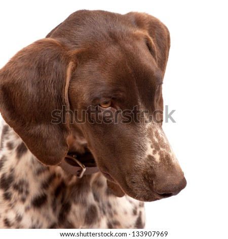 german short hair pointer close up looking down isolated on white