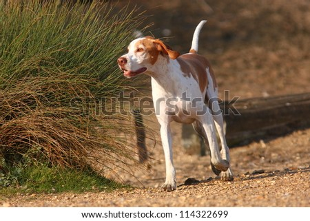 German Short Haired Pointer dog, running free of the lead looking for his owner. - stock photo