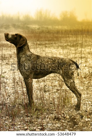 German short haired pointer posing in the field - stock photo