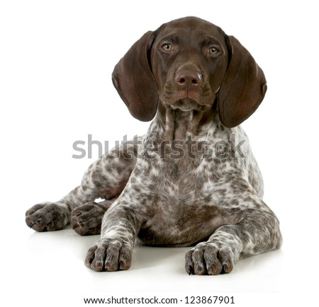 german short haired pointer puppy laying down on white background - 10 weeks old - stock photo