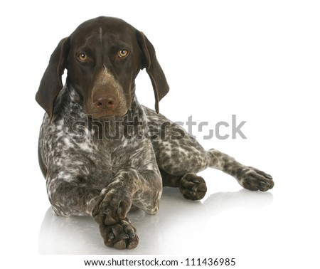 german short haired pointer with paws crossed on white background - 4 months old - stock photo