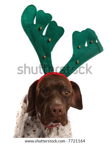 German Short Haired Pointer with reindeer antlers on - stock photo