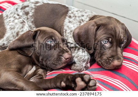 German Shorthaired Pointer (GSP) puppies at the age of 6 weeks.  GSPs are popular both as family pets and as capable hunting and retrieving dogs. - stock photo