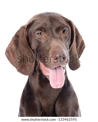 German Shorthaired Pointer in front. looking away isolated on white background - stock photo