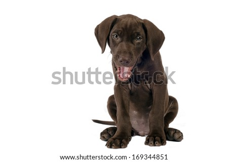 German shorthaired pointer isolated on white background with space for text.