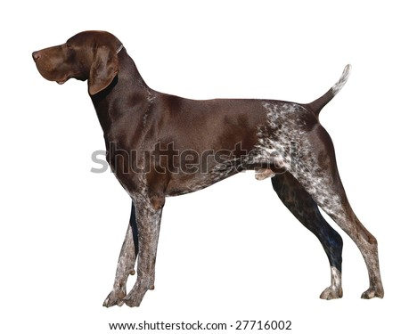 German Shorthaired Pointer isolated with clipping path - stock photo