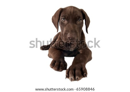German shorthaired pointer  on white a background
