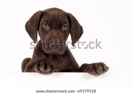 German shorthaired pointer on white background with space for text.