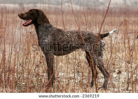German shorthaired pointer posing in the field